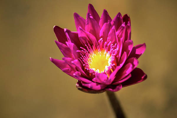 Photograph - Water Lily Purple by Don Johnson