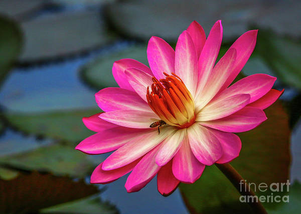Photograph - Water Lily With Bee by Tom Claud