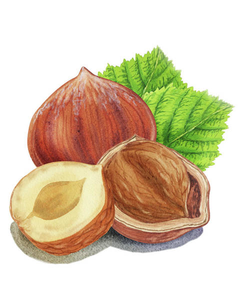 Painting - Watercolor Illustration Of Hazelnut  by Irina Sztukowski