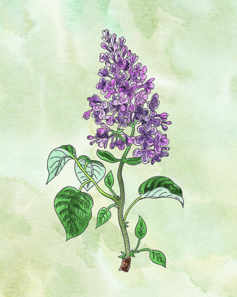 Botanic Painting - Watercolor Lilac Flower Botanical  by Irina Sztukowski