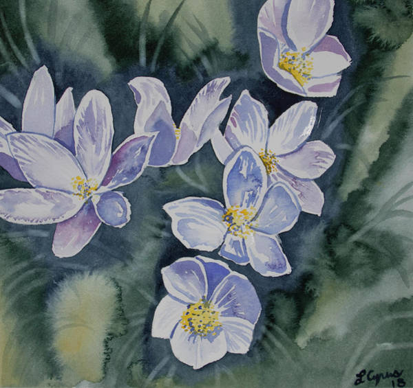 Painting - Watercolor - Pasque Flowers Opening by Cascade Colors