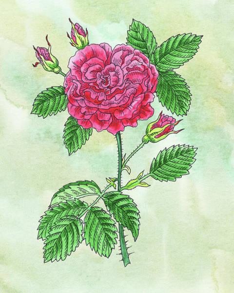 Wall Art - Painting - Watercolor Pink Rose Botanical  by Irina Sztukowski