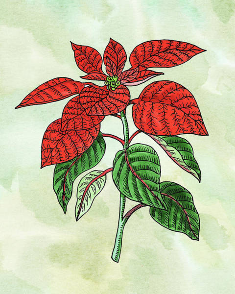 Wall Art - Painting - Watercolor Poinsettia Plant Botanical  by Irina Sztukowski