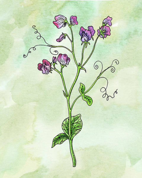 Painting - Watercolor Sweet Pea Flower Botanical by Irina Sztukowski