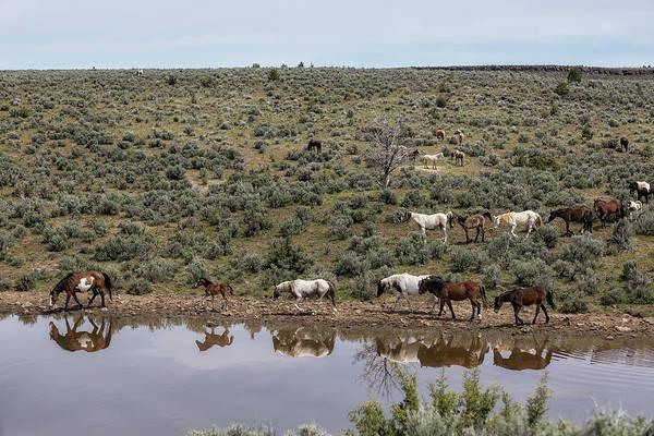 Photograph - Waterhole Reflections - South Steens Mustangs by Belinda Greb