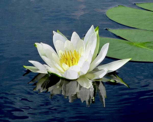 Photograph - Waterlily Reflection  by Sarah Lilja