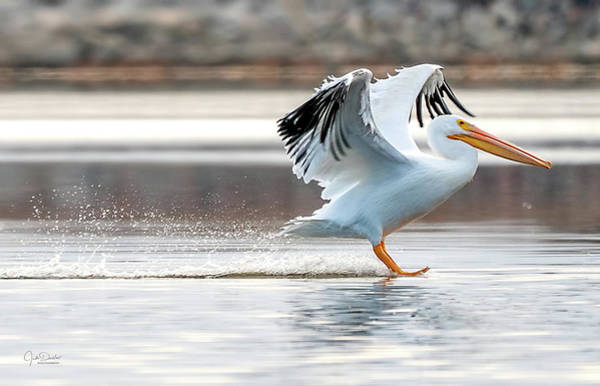 Photograph - Waterskiing Pelican by Judi Dressler