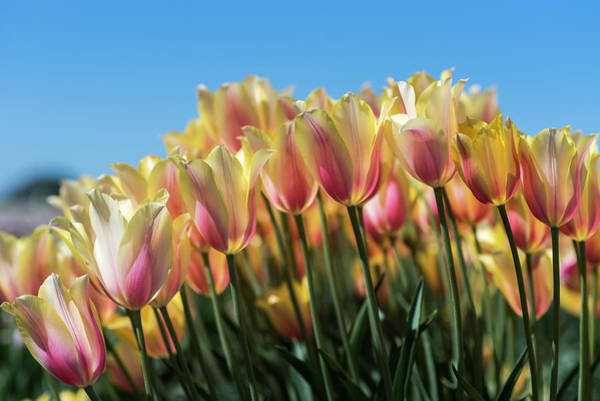 Photograph - Wave Of Tulips by Robert Potts