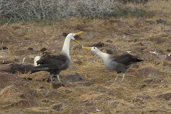 Waved Albatross Wall Art - Photograph - Waved Albatross Courtship by David Hosking
