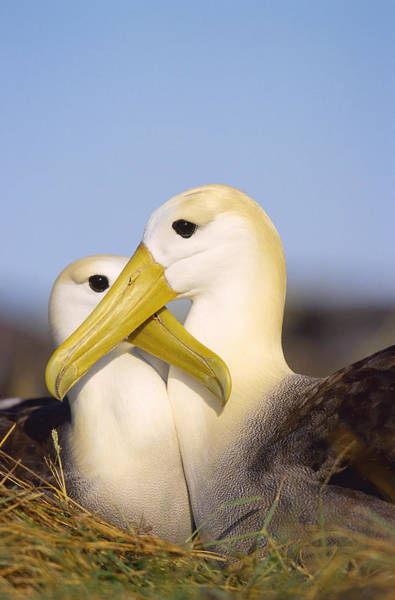 Waved Albatross Wall Art - Photograph - Waved Albatross, Diomedea Irrorata by Mark Jones Roving Tortoise Photos