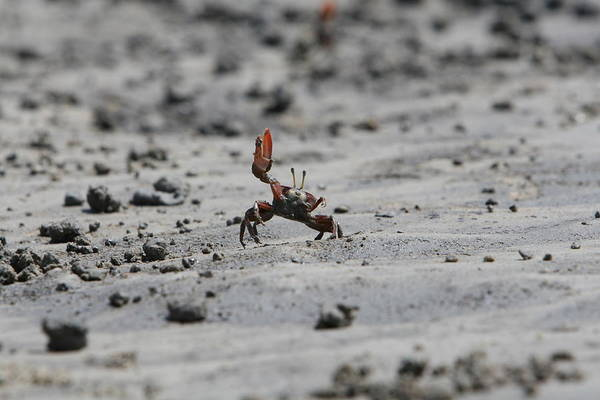 Wave Photograph - Waving Crab Wants To Have Sex by Gergely Antal - Pgaalien@gmail.com