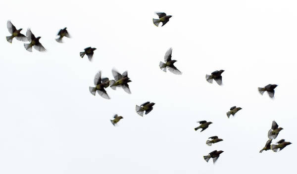 Freedom Photograph - Waxwings In Flight by Julian Humphries