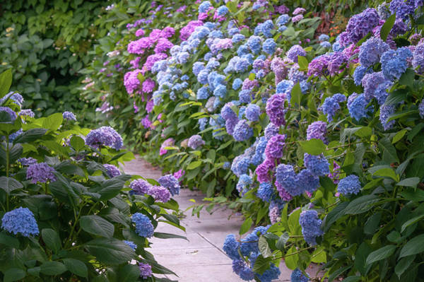 Photograph - Way Through Colorful Hydrangeas  by Jenny Rainbow