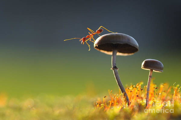 Small Wall Art - Photograph - Weaver Ant Want To Jump From A Mushroom by Robby Fakhriannur