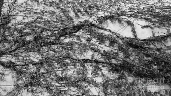 Photograph - Web Of Vines by Jeni Gray