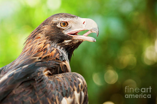 Photograph - Wedge-tailed Eagle by Rob D Imagery