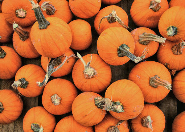 Photograph - Wee Pumpkins by JAMART Photography