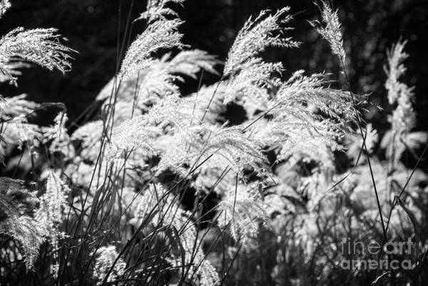 Weeds Photograph - Weed Grass Black And White by Delphimages Photo Creations