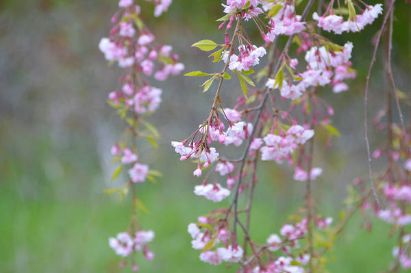 Photograph - Weeping Cherry Blossoms by SimplyCMB