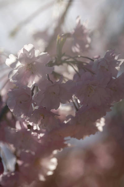 Wall Art - Photograph - Weeping Cherry Tree Blossoms, Close-up by Jeanene Scott
