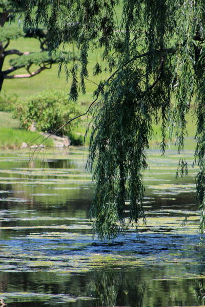 Photograph - Weeping Willow Over Pond In Chicago Botanical Gardens by Colleen Cornelius