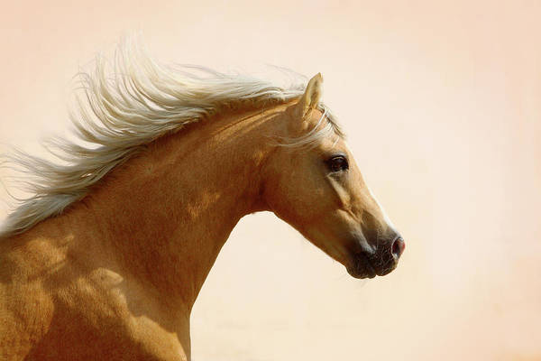 Palomino Photograph - Welsh Pony by Photographs By Maria Itina
