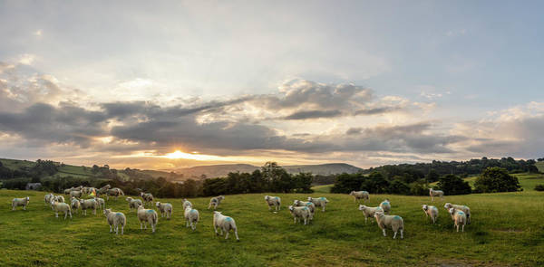 Photograph - Welsh Sheep Sunrise Landscape  by John McGraw