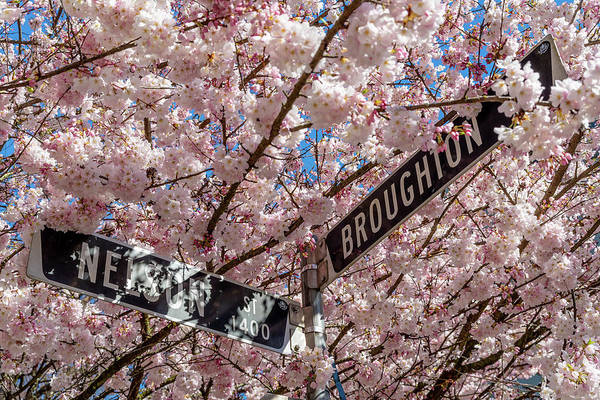 Photograph - West End Cherry Blossoms by Ross G Strachan