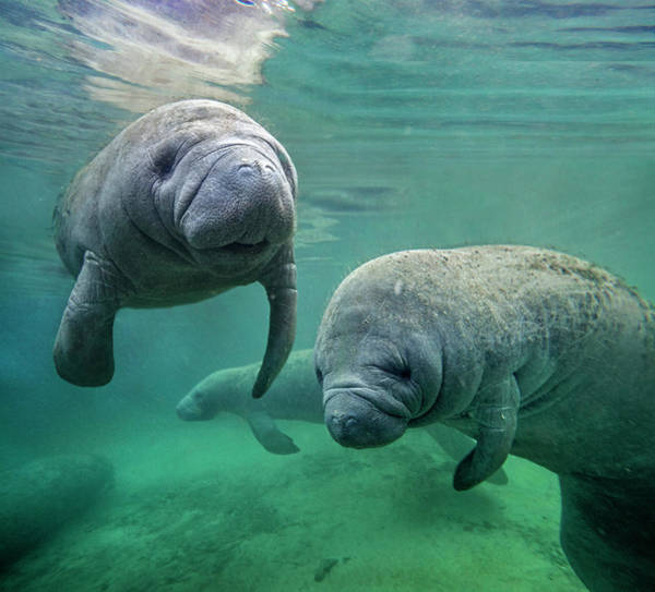 Photograph - West Indian Manatee, North America by