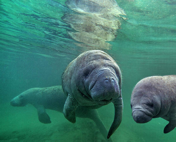 Wall Art - Photograph - West Indian Manatee Trio, Crystal by