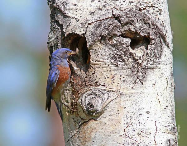 Bluebird Wall Art - Photograph - Western Bluebird by Gary Wing