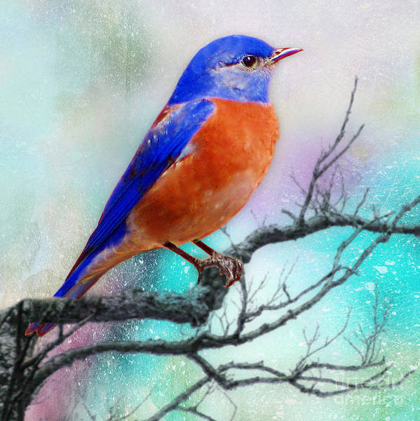 Mixed Media - Western Bluebird by Morag Bates