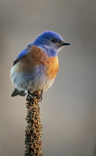 Wall Art - Photograph - Western Bluebird On Mullein by David Sams