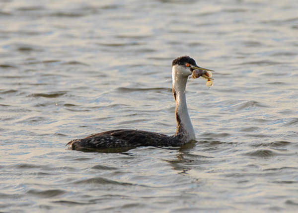 Photograph - Western Grebe With Fish by Loree Johnson