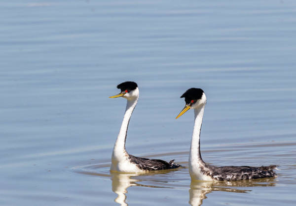 Photograph - Western Grebes by Michael Chatt