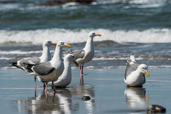 Photograph - Western Gulls Reflect by Robert Potts