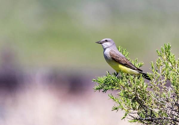 Photograph - Western Kingbird by Michael Chatt