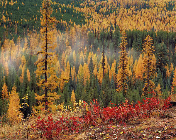 Rain Forest Photograph - Western Larch Forest Autumn by Leland D Howard