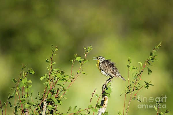 Wall Art - Photograph - Western Meadowlark by Beve Brown-Clark Photography