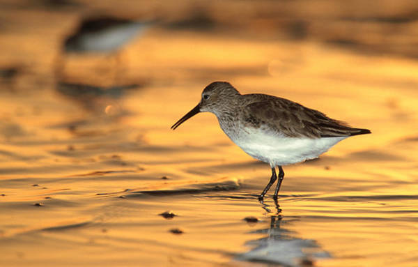 Wall Art - Photograph - Western Sandpiper, Calidris Mauri by Olaf Broders Nature Photography