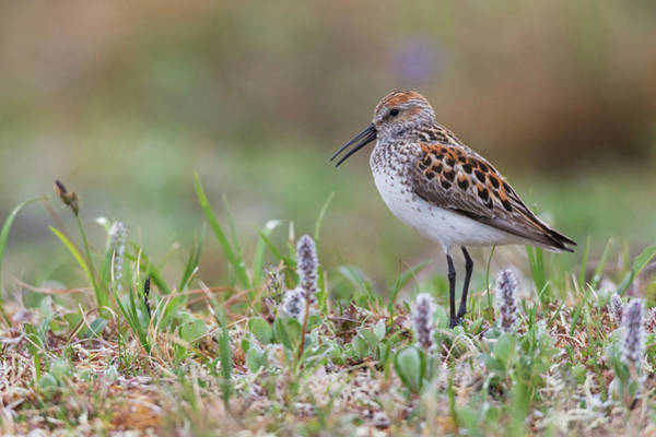 Wall Art - Photograph - Western Sandpiper, Calling On Arctic by Ken Archer