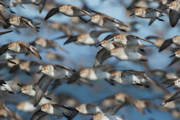 Wall Art - Photograph - Western Sandpiper Flock, Migration by Ken Archer