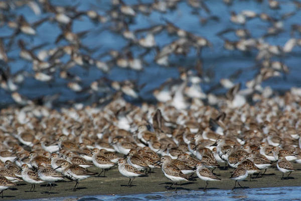 Wall Art - Photograph - Western Sandpipers And Dunlins by Ken Archer