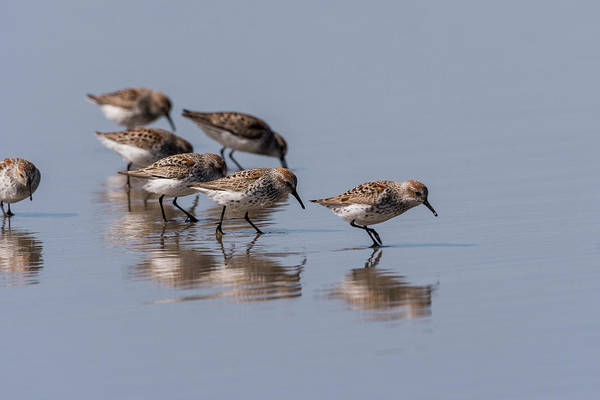 Photograph - Western Sandpipers And Reflection by Robert Potts