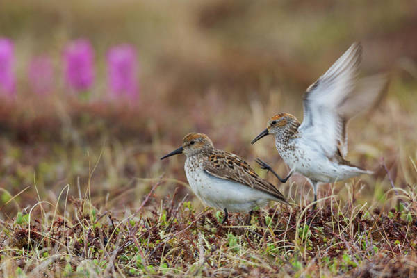 Wall Art - Photograph - Western Sandpipers, Courtship by Ken Archer