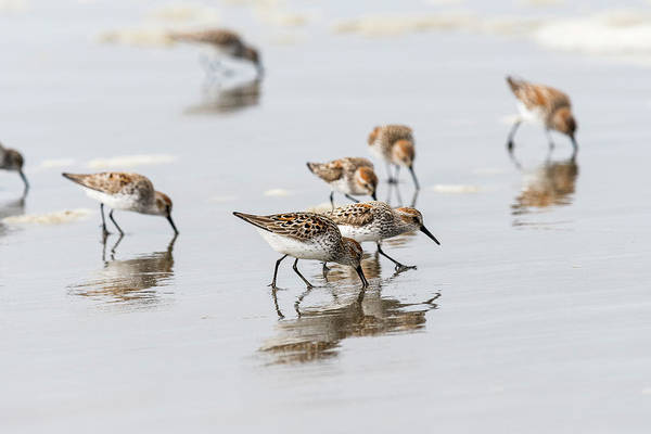 Photograph - Western Sandpipers On The Beach by Robert Potts