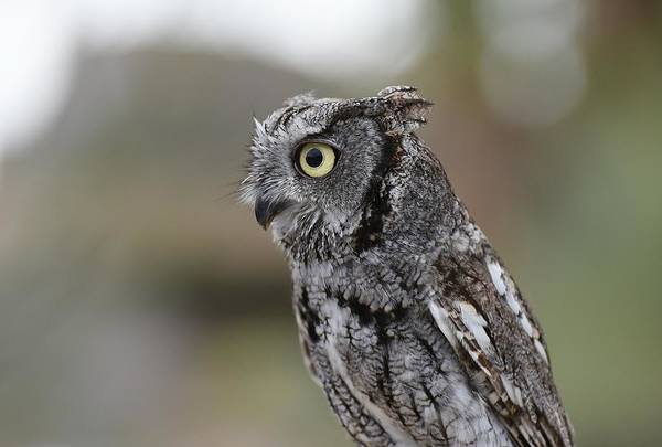 Photograph - Western Screech Owl 3 by Fraida Gutovich
