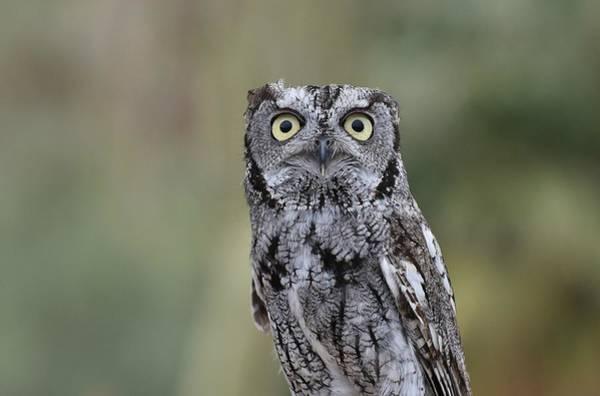 Photograph - Western Screech Owl 4 by Fraida Gutovich