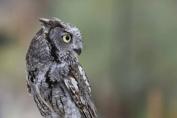 Screech Owl Photograph - Western Screech Owl 5 by Fraida Gutovich