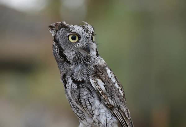 Photograph - Western Screech Owl by Fraida Gutovich